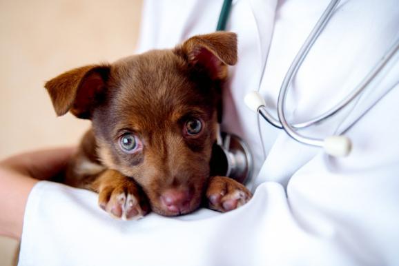 vétérinaire chiot